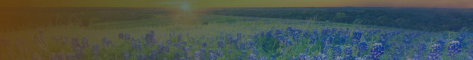 Photo of Blue Bonnets at dusk